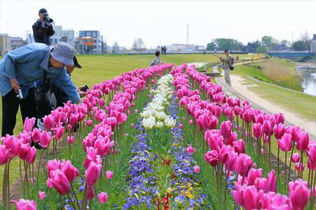 Koshi_tulip1050