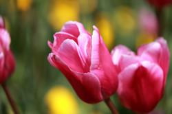 Koshi_tulip1006_2