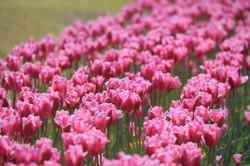 Koshi_tulip1013